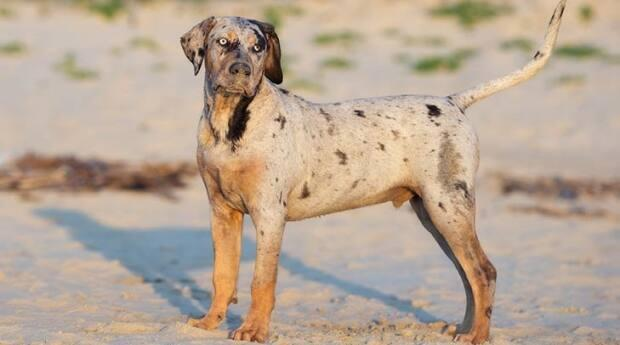 Michael Kirby's dogs have been described as Louisiana Catahoula leopard dog mixes. The dog in this photo is a purebred version of the breed.