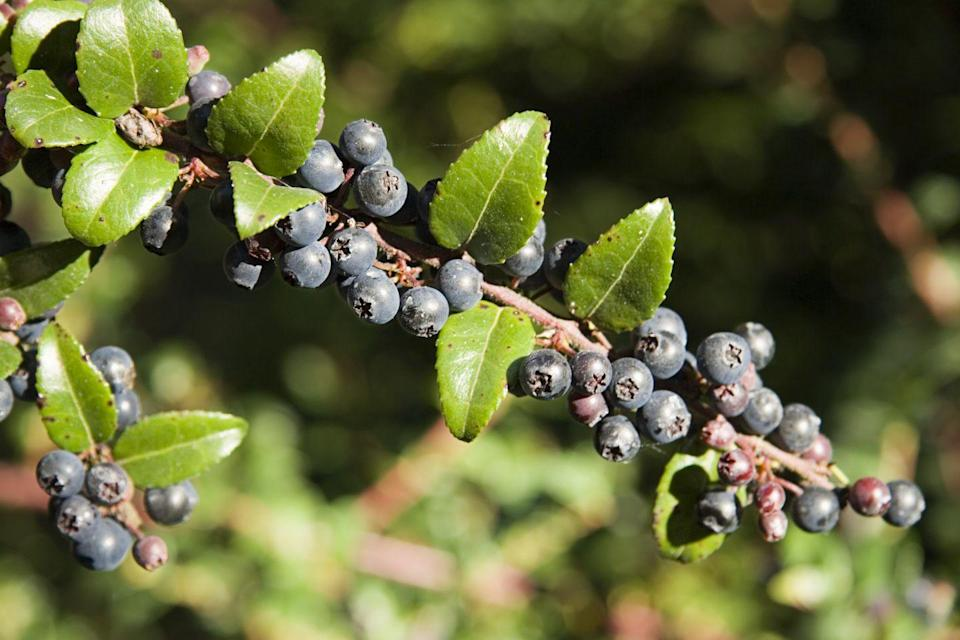<p><strong>State Fruit: Wild Huckleberry </strong></p><p>Idaho is famed for their state vegetable, the potato, but their state fruit is the blueberry like wild huckleberry. </p>
