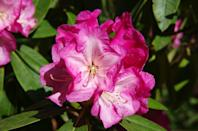 """<p>Named the official state flower in <a href=""""https://statesymbolsusa.org/symbol/west-virginia/state-flower/rhododendron"""" rel=""""nofollow noopener"""" target=""""_blank"""" data-ylk=""""slk:1903"""" class=""""link rapid-noclick-resp"""">1903</a>, one has to wonder why West Virginia waited 40 years to claim it as their own.</p>"""
