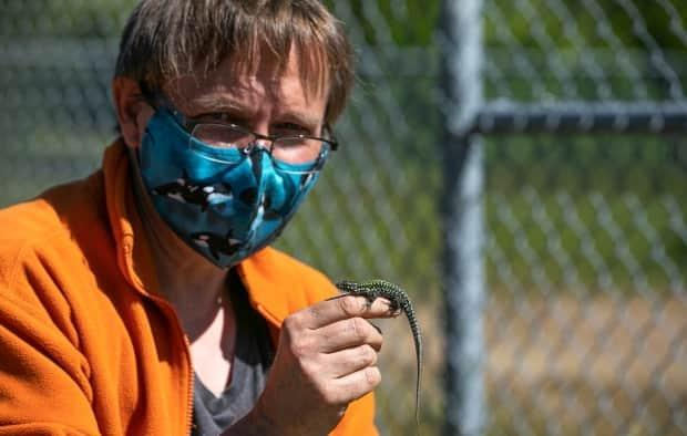 Gavin Hanke, curator of vertebrate zoology at the Royal B.C. Museum, catches the lizards to research their diets.