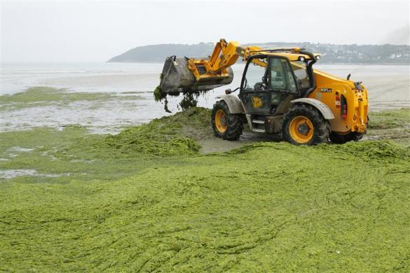 Masses of seaweed is cleared away along the French coastline at Saint Michel-en-Greve, Northern Brittany, August 2, 2011. The mysterious death of 36 wild boars on France's northwestern coast baffled authorities on Tuesday after tests suggested large amounts of rotting seaweed strewn across beaches may not be to blame. Environmentalists had said that toxic, foul-smelling hydrogen sulfide gas emitted by the rotting seaweed had poisoned the animals in the Cotes d'Armor region of Brittany. Ecologists say that nitrates pollution in rivers from fertilizers used in intensive farming has boosted the growth of algae along France's coastline.