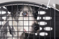 """A dog peers out from a kennel after the landing of a """"Paws Across the Pacific"""" pet rescue flight Thursday, Oct. 29, 2020, in Seattle. Volunteer organizations flew more than 600 dogs and cats from shelters across Hawaii to the U.S. mainland, calling it the largest pet rescue ever. The animals are being taken from overcrowded facilities in the islands to shelters in Washington state, Oregon, Idaho, and Montana. (AP Photo/Elaine Thompson)"""