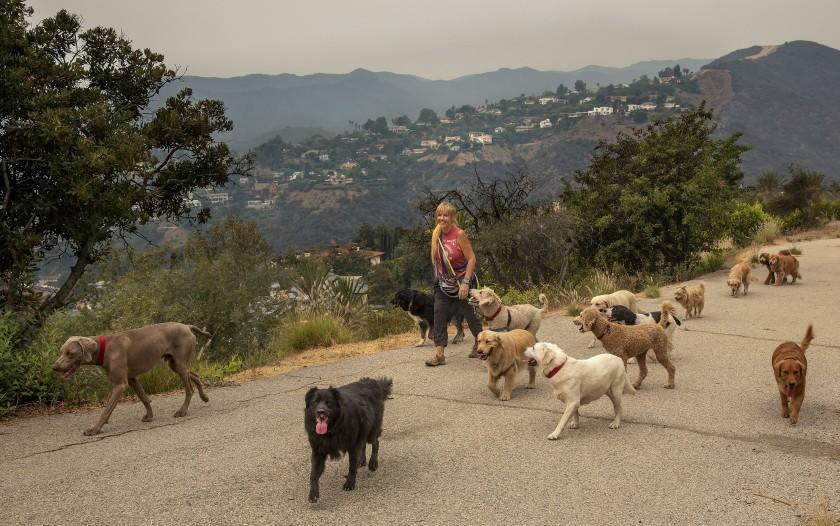 BRENTWOOD, CA -SEPTEMBER 10, 2020: Dog walker Candice Clark makes her way with 14 canines on a path above Kenter Ave. In Brentwood. In background are homes in Mandeville Canyon, a small community in Brentwood. Brentwood is the hometown of VIce Presidential candidate Kamela Harris. (Mel Melcon / Los Angeles Times)