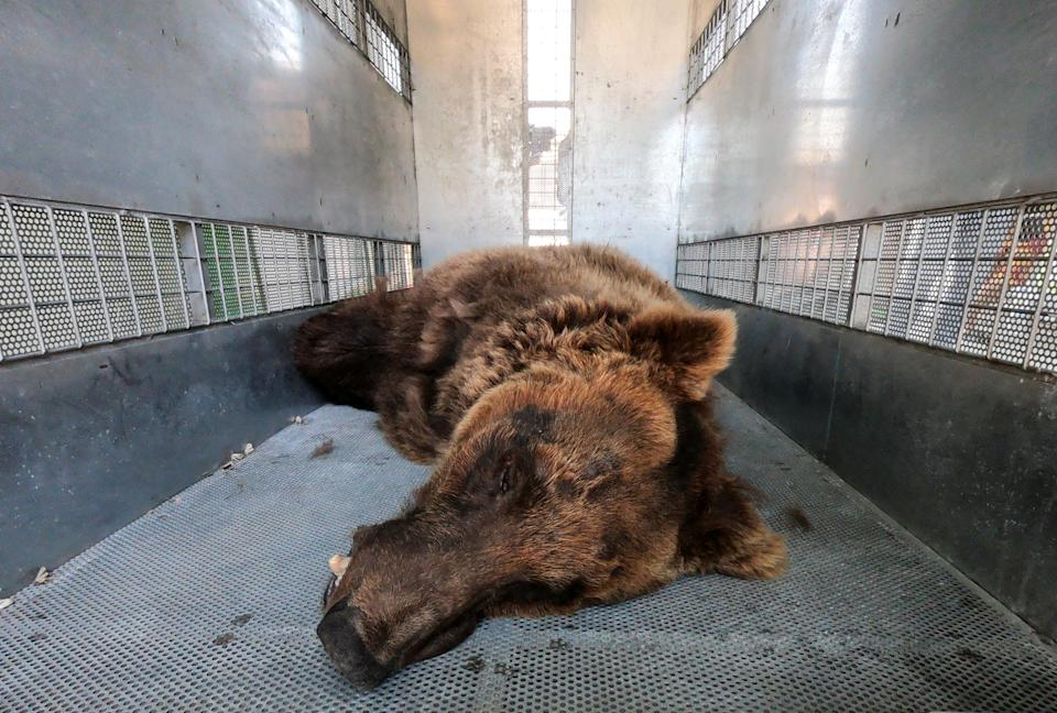 One of the two Syrian brown bears to be relocated to a wildlife sanctuary in the U.S. lies inside a crate before its departure, in Tyre, Lebanon July 18, 2021. REUTERS/Issam Abdallah     TPX IMAGES OF THE DAY