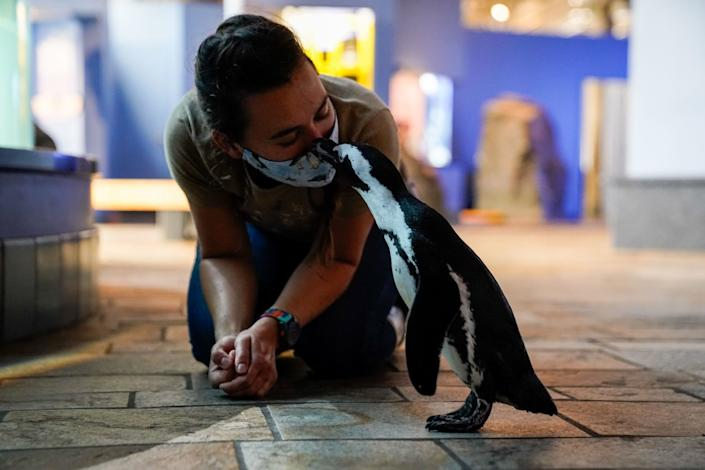 """Rey the penguin affectionally kisses aviculturist Madeline McCuen while taking a stroll outside of her enclosure at the Monterey Bay Aquarium. <span class=""""copyright"""">(Kent Nishimura / Los Angeles Times)</span>"""