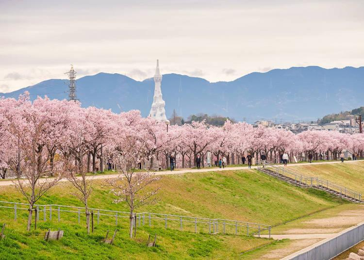 1,400 cherry trees are planted along the shores of Sayama Pond!