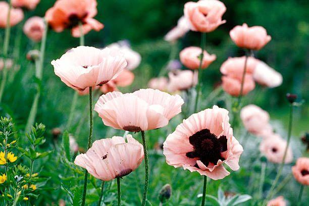 """<p>These delicate, papery flowers bloom in profusion in deep saturated tones of red, pink and salmon. Plant poppies in the spring for summer blooms. They'll die back in the summer but should return next year. Need full sun.</p><p>Varieties to try: Pink Ruffles, Patty's Plum</p><p><a class=""""link rapid-noclick-resp"""" href=""""https://go.redirectingat.com?id=74968X1596630&url=https%3A%2F%2Fwww.qvc.com%2Fqvc.product.H398951.html&sref=https%3A%2F%2Fwww.housebeautiful.com%2Fentertaining%2Fflower-arrangements%2Fg2411%2Fpopular-flowers-summer%2F"""" rel=""""nofollow noopener"""" target=""""_blank"""" data-ylk=""""slk:SHOP NOW"""">SHOP NOW</a></p>"""