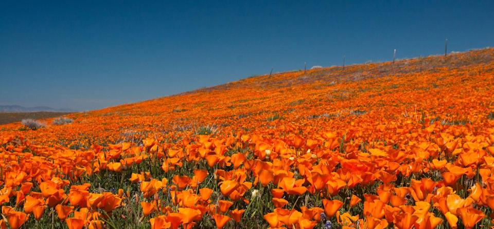 """<p>A rolling landscape filled with thousands of bright poppies make the <a href="""" http://www.visitcalifornia.com/attraction/antelope-valley-california-poppy-reserve"""" rel=""""nofollow noopener"""" target=""""_blank"""" data-ylk=""""slk:Antelope Valley Poppy Reserve"""" class=""""link rapid-noclick-resp"""">Antelope Valley Poppy Reserve</a> one of the most gorgeous sights in the country, let alone the state of California. </p>"""