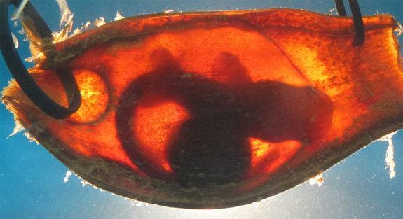 Baby brown-banded bamboo sharks (<em>Chiloscyllium punctatum</em>) still developing within leathery egg cases can sense the electric fields of predators and freeze in place to avoid detection, researchers report online Jan. 9, 2013, in the jour