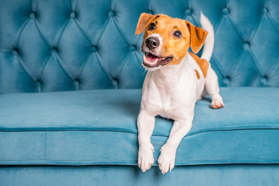 Soft sofa. Furniture background. Dog lies on turquoise velour sofa. Cozy and comfortable home interior.