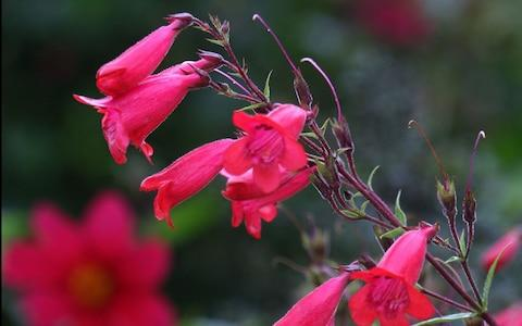 Penstemon - Credit: Martin Pope