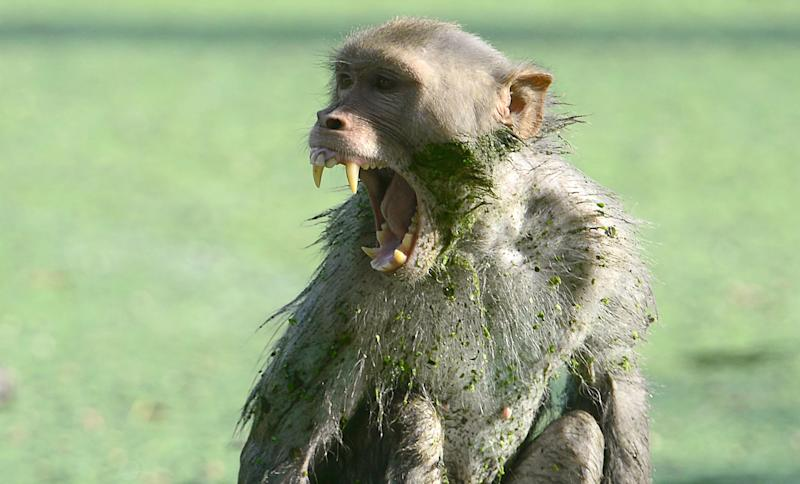 A monkey in Allahabad, India: AFP/Getty Images