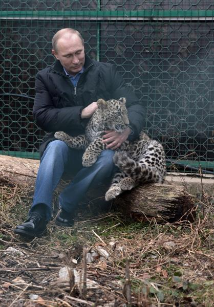 Russian President Vladimir Putin pets a snow leopard cub at the snow leopard sanctuary in the Russian Black Sea resort of Sochi, Tuesday, Feb. 4, 2014. Putin checked in Tuesday at a preserve for endangered snow leopards and visited a group of cubs born last summer in the mountains above the growing torrent of activity in Sochi for the Winter Games. (AP Photo/RIA-Novosti, Alexei Nikolsky, Presidential Press Service)