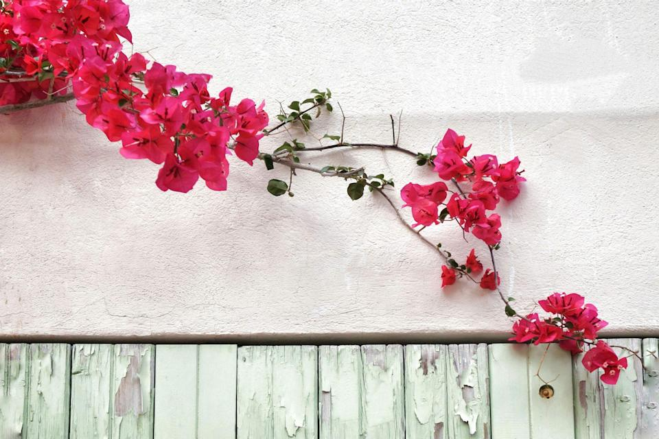 """<p>This tropical vine will be consumed with tiny blooms surrounded by <a href=""""https://www.southernliving.com/plants/bougainvillea"""" rel=""""nofollow noopener"""" target=""""_blank"""" data-ylk=""""slk:brightly colored tissue-paper-esque bracts"""" class=""""link rapid-noclick-resp"""">brightly colored tissue-paper-esque bracts</a> during the fall and cooler spring months. If you're looking for a summertime stunner, bougainvillea isn't your girl. They're another variety that is best for sturdy boxes such as brick or stucco versions. Place a trellis on either side of the mailbox, tie them to the structure as they grow, and prune back when needed (ideally after blooming in late winter or early spring).</p>"""