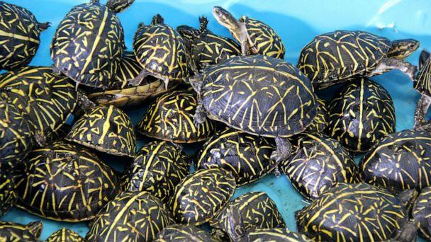 PHOTO: Wildlife officials in Florida returned turtles to the wild after busting a trafficking ring of thousands of the smuggled reptiles. (Florida Fish and Wildlife Conservation Commission)