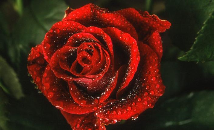 close up of wet red rose