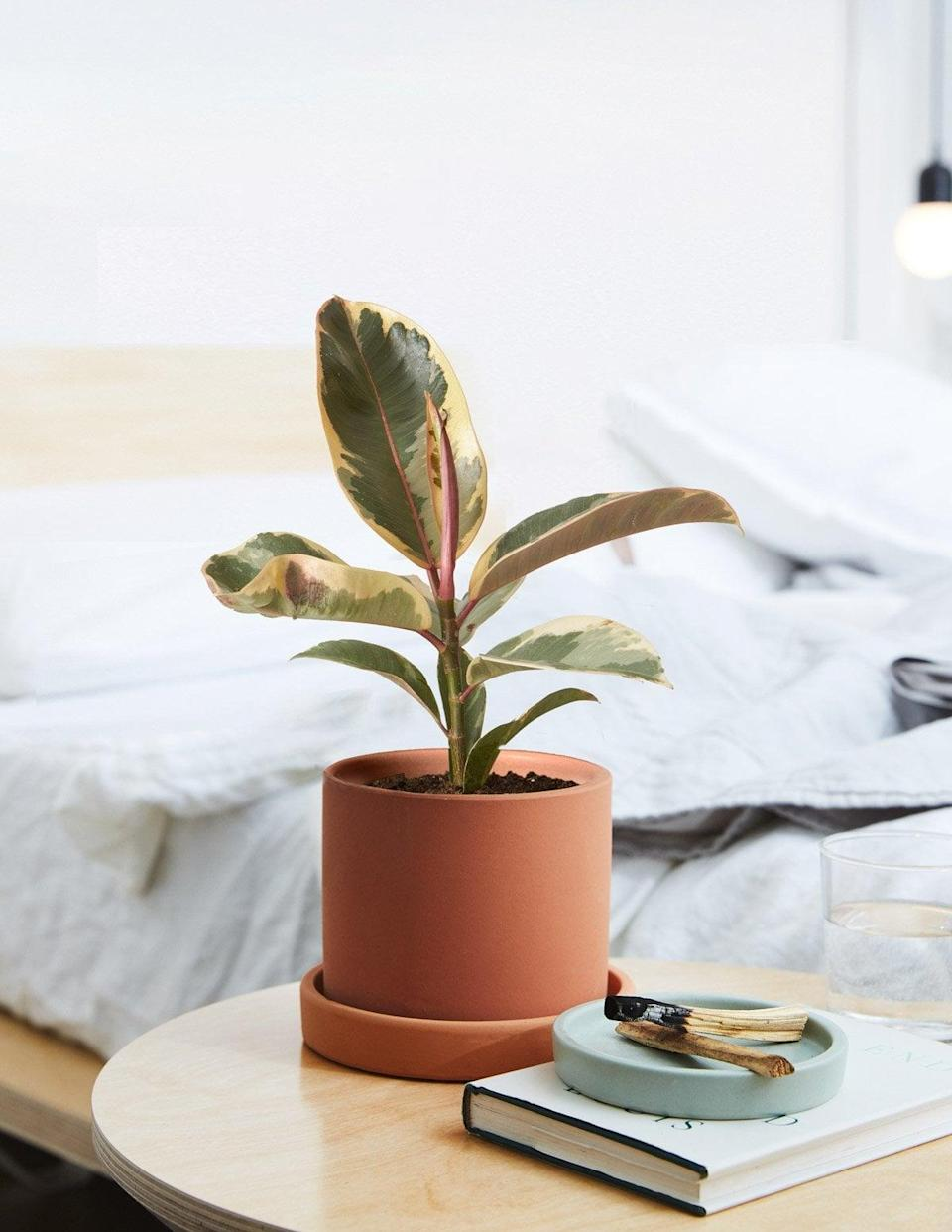 <p>The <span>Ficus Tineke</span> ($43) has a very subtle hint of pink that'll blend in with any room. </p>