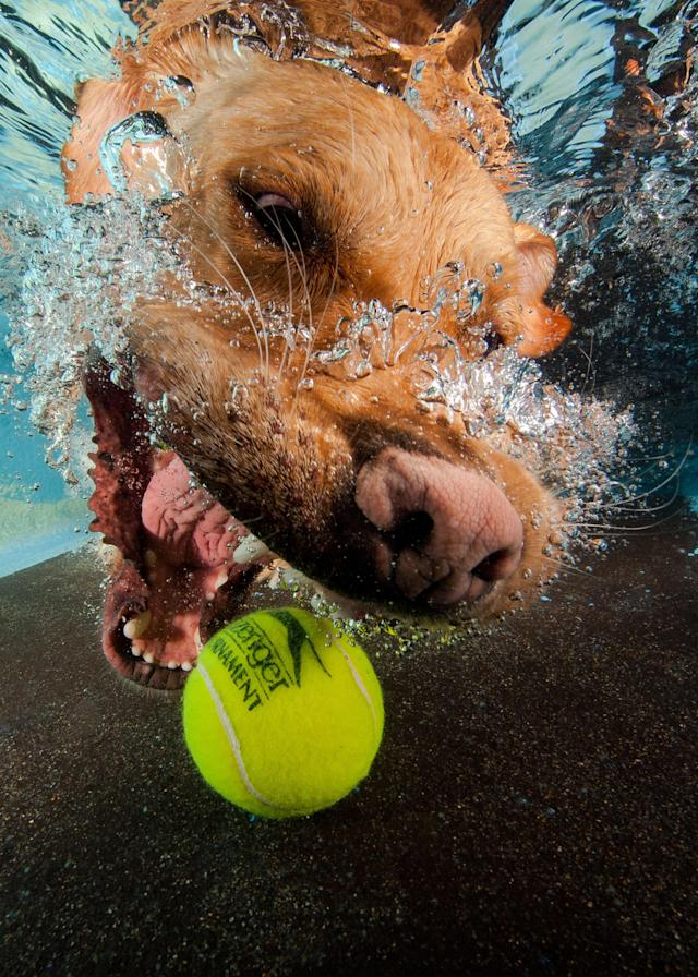 <p>A golden Labrador chases the submerged tennis ball. (Photo: Jonny Simpson-Lee/Caters News) </p>