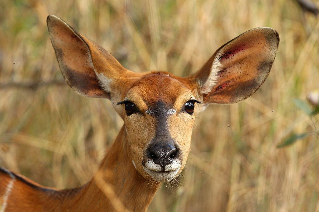 A female nyala in Edeni Game Reserve near Kruger National Park in South Africa.
