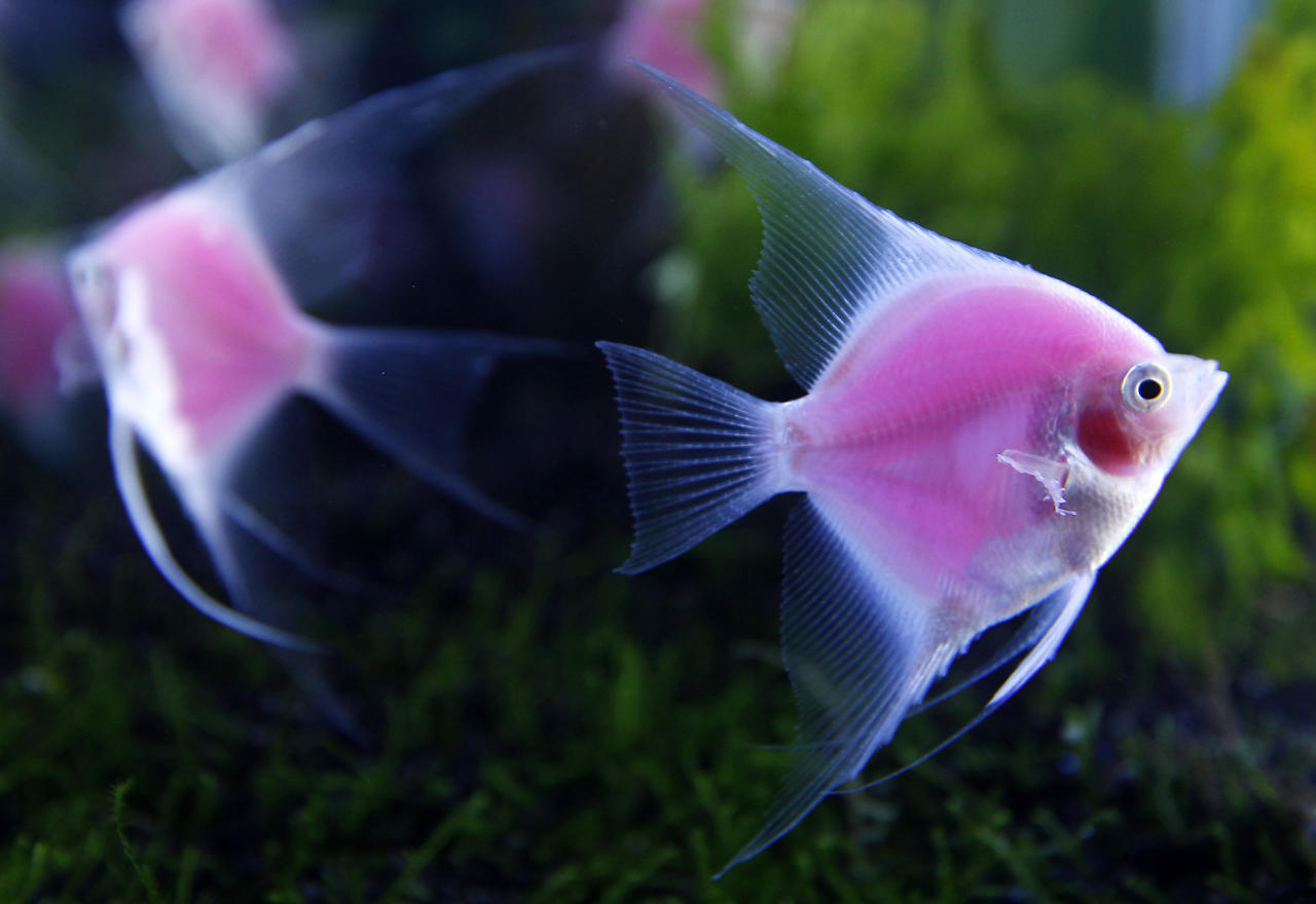 Genetically engineered angelfish (Pterophyllum) glow in a tank during a news conference before the 2012 Taiwan International Aquarium Expo in Taipei November 7, 2012. The fish, which are the world's first pink fluorescent angelfish and can view without blacklight, were created by a joint project between Taiwan's Academia Sinica, National Taiwan Ocean University and Jy Lin, a private biotechnology company, according to the organizer. The 2012 Taiwan International Aquarium Expo will be held at Taipei World Trade Center Nangang Exhibition Hall from November 9 to 12.   REUTERS/Pichi Chuang (TAIWAN - Tags: ANIMALS SOCIETY SCIENCE TECHNOLOGY)
