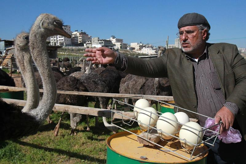 Fifty-year old Palestinian farmer Abdulrahman Abu Tir keeps 200 ostriches on around two hectares (five acres) of land and hopes to increase the number (AFP Photo/Musa al-Shaer )