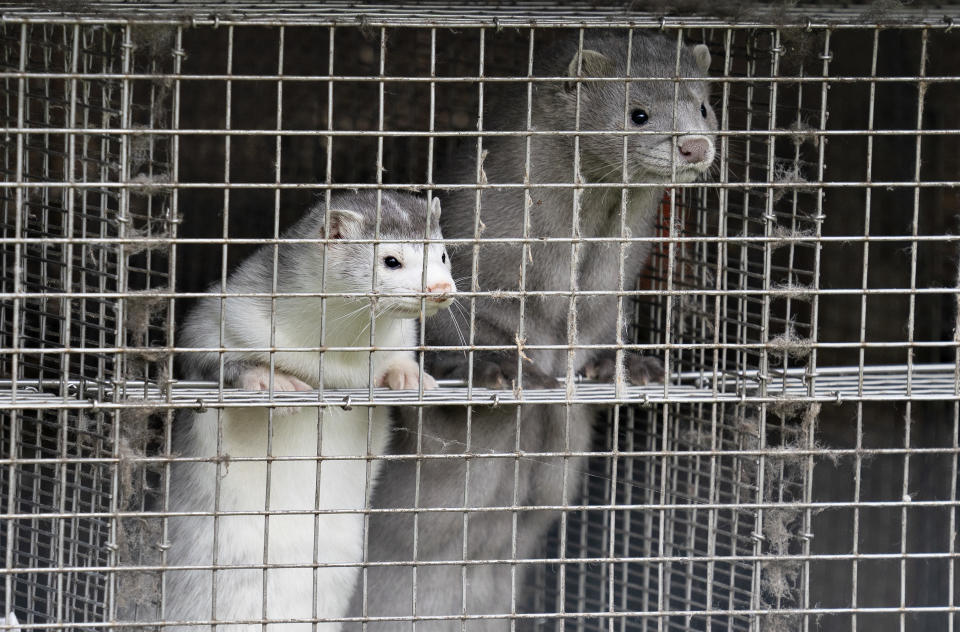 Utah officials are reporting that nearly 10,000 mink have died from a COVID-19. Pictured above, minks at a facility in northern Denmark, where another COVID-19 outbreak occurred this summer. (Photo: Getty Images)