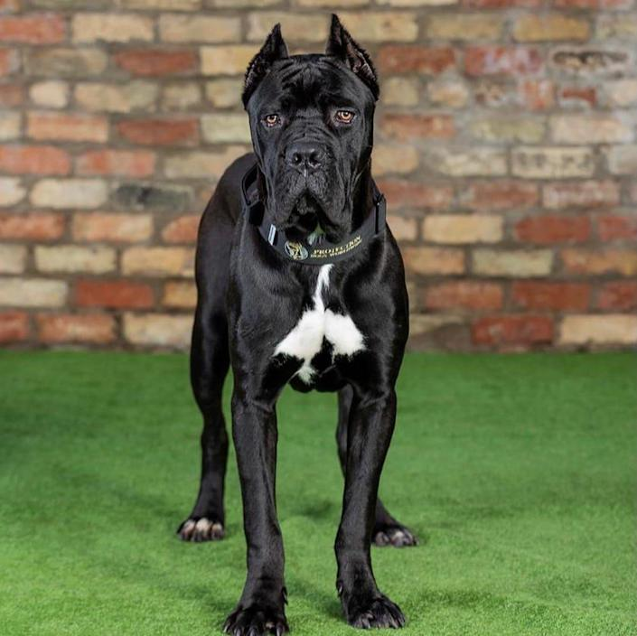 A dog with cropped ears available for sale on the site