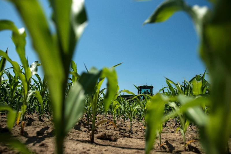 Mexico imports billions of dollars' worth of corn from the US to feed its livestock (AFP Photo/Brendan Smialowski)