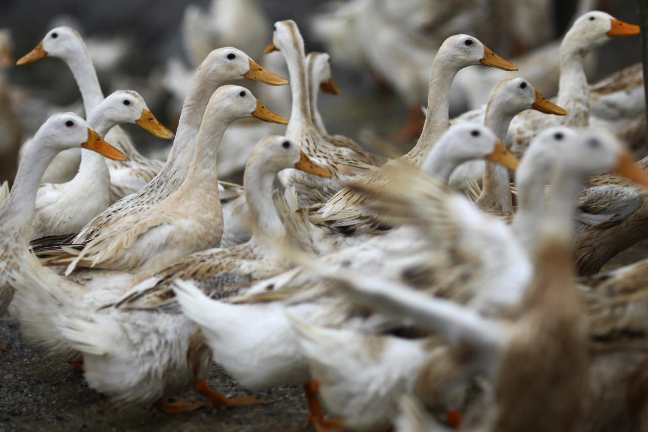 In this photo taken Tuesday, Feb. 14, 2012, ducks walk around an area where a suspected outbreak of the H5N1 bird flu virus was reported, in Nhat Tan commune, Kim Bang district, Ha Nam province, Vietnam. Recent human deaths in Asia and Egypt are a reminder that the deadly H5N1 virus is still alive and dangerous. Vietnam is also grappling with a new strain that has outsmarted vaccines long used to help protect its poultry flocks. The H5N1 virus has killed 345 people worldwide since 2003, when it rampaged across large swaths of Asia decimating poultry stocks before later surfacing in parts of Africa, the Middle East and Europe. (AP Photo/Na Son Nguyen)