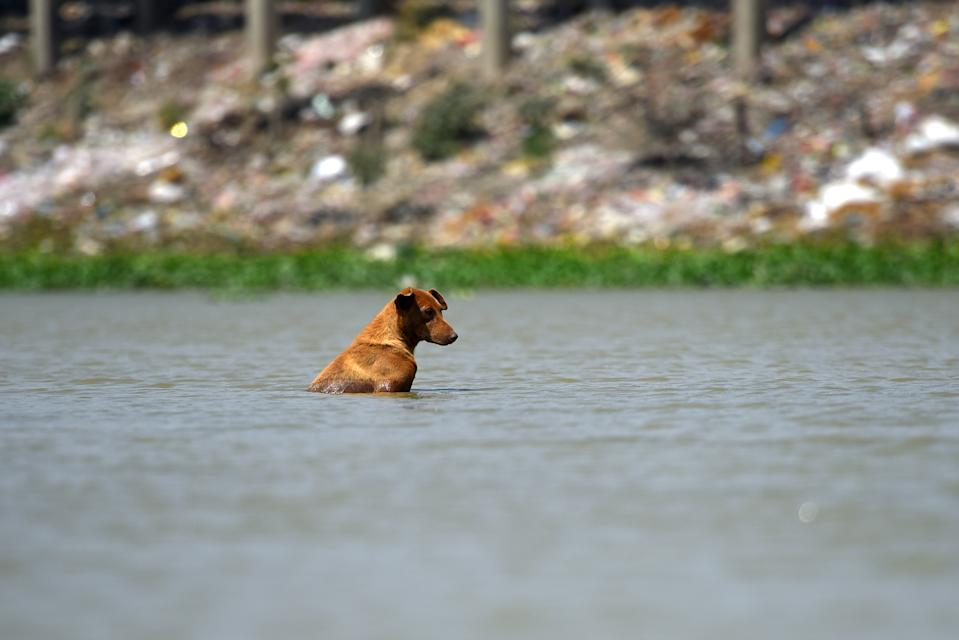 NEW DELHI, INDIA - JUNE 10: A dog soakes in a pond to escape the blazing afternoon heat on June 10, 2019 in New Delhi, India. The mercury shattered all records in Delhi NCR on Monday with parts of the national capital region recording an all-time high of 48 degrees Celsius for the month of June. (Photo by Amal KS/Hindustan Times via Getty Images)
