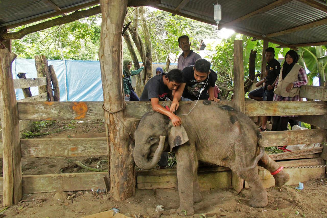 Veterinarians tend to a wild baby Sumatran elephant after it was found separated from its herd in the forest of East Aceh at the Elephant Training Centre in Saree, Aceh, Indonesia January 17, 2017  in this photo taken by Antara Foto. Antara Foto/Ampelsa/via REUTERS ATTENTION EDITORS - THIS IMAGE WAS PROVIDED BY A THIRD PARTY. FOR EDITORIAL USE ONLY. MANDATORY CREDIT. INDONESIA OUT.