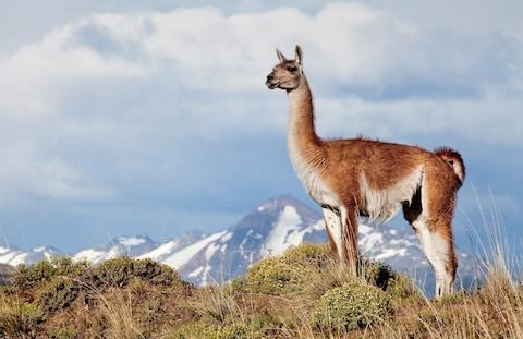 One of the region's guanacos - Credit: getty