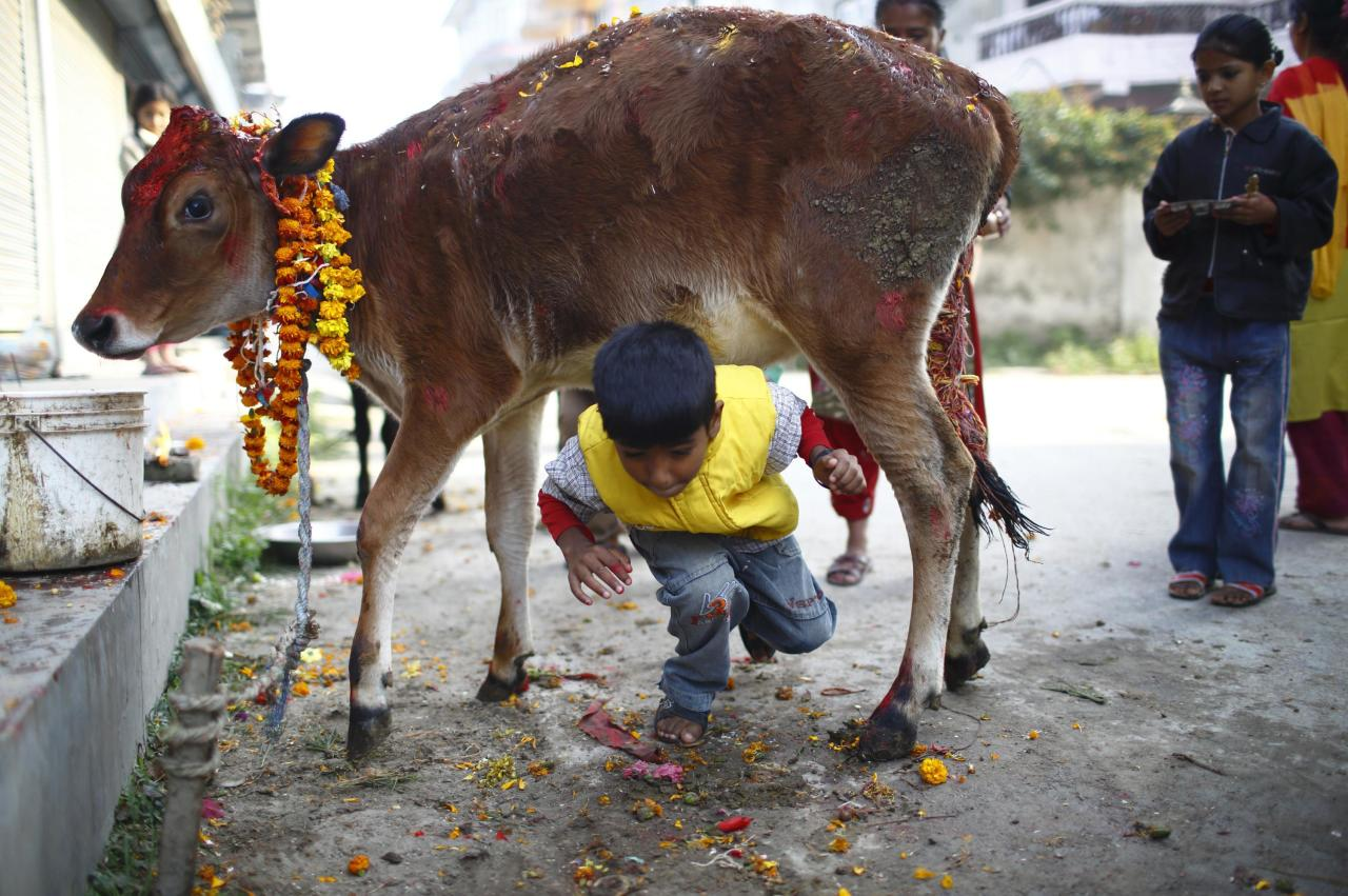 what religion worships cows