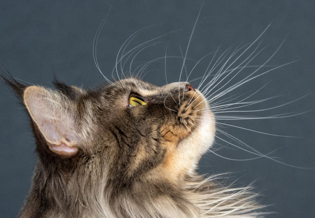 <p>Maine Coon cat 'Abigall of Strong and Gentle' looks up during an international dog and cat exhibition in Erfurt, Germany, June 16, 2018. (Photo: Jens Meyer/AP) </p>