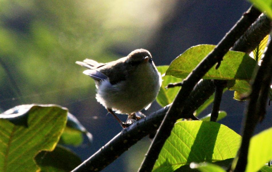 """<b>Tickell's leaf warbler:</b> Warblers are varied species of small, dull-feathered songbirds that look so confusingly similar that British birders call them """"Little Brown Jobs"""" or LBJs."""