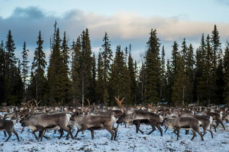 Reindeer represent a real hazard when they approach roads as they tend not to fear motor vehicles