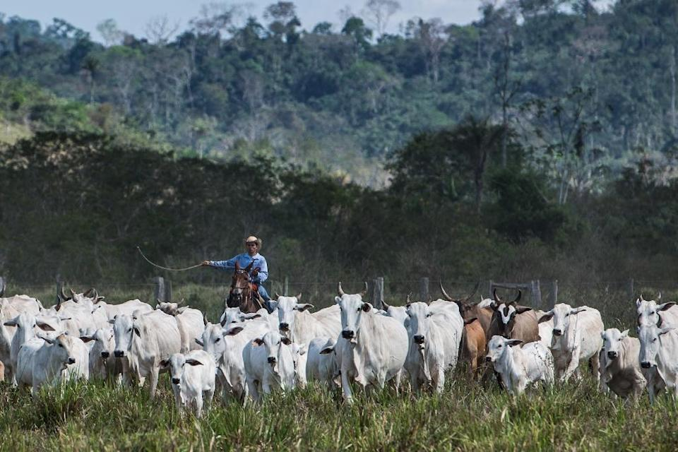Not only do cattle pass massive quantities of planet-warming methane, but huge swathes of carbon-absorbing forests –- mostly in Brazil -– are cut down every year to make room for them (AFP Photo/YASUYOSHI CHIBA)