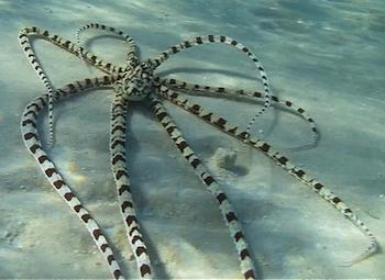 Mimic octopus documented in Australia; image courtesy of Darren Coker