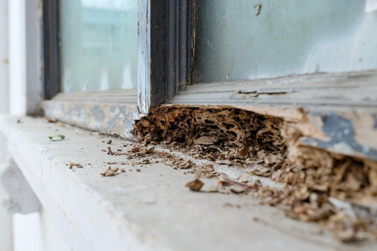 A wooden window frame being decomposed by termites.
