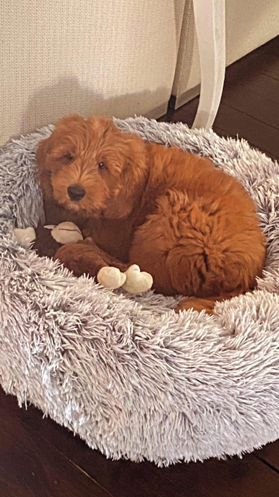 Fred is a 10-week-old pure breed Labradoodle. Photo: Instagram/fredthecobberdog.