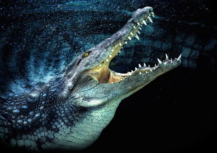 A side portrait of an alligator. (Photo: Pedro Jarque Krebs/Caters News)