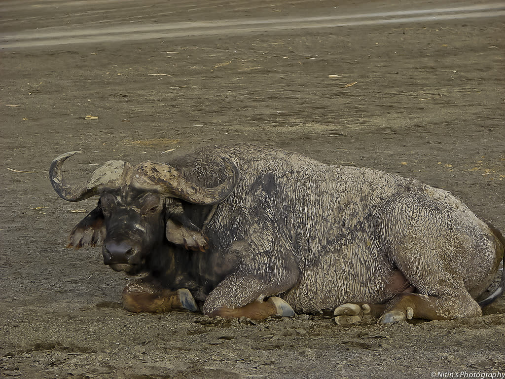 The African Cape Buffalo (Syncerus caffer) is a large bovid and its unpredictable nature makes it highly dangerous to approach. Adult buffalo have few predators and are capable of defending themselves against (and killing) lions.