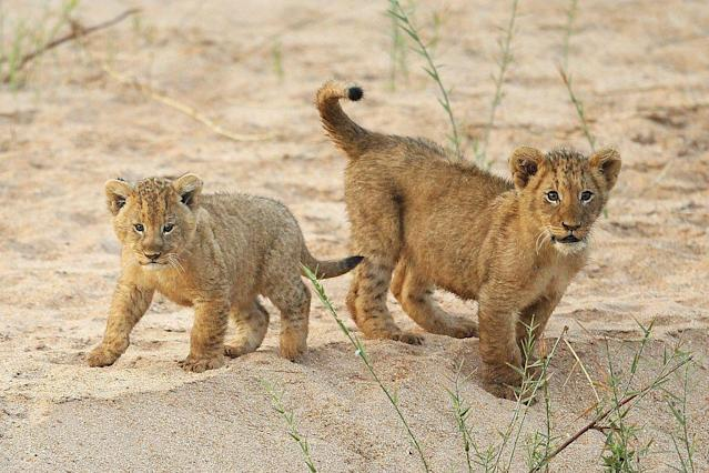 Lion cubs play on the banks of the Makhutswi River at sunrise in the Edeni Game Reserve near Kruger National Park in South Africa.