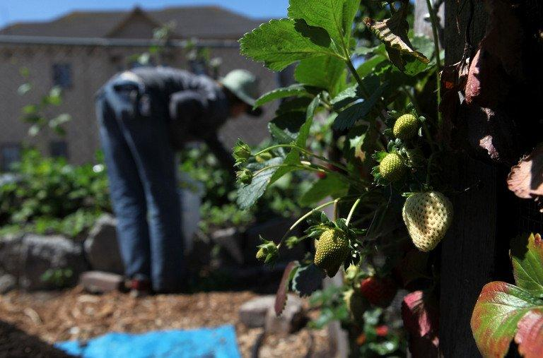 This file photo shows strawberries hanging from vines at a farm in Oakland, California, on June 25, 2009. Some 61 percent of growers in California this year report shortages of laborers, especially in labor intensive crops like grapes and vegetables, according to the California Farm Bureau Federation