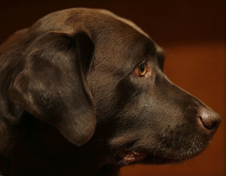 A Labrador retriever named Shayna attends a news conference at the American Kennel Club in New York, Wednesday, Jan. 30, 2013. The club announced their list of the most popular dog breeds in 2012 where the Labrador retriever remains the most popular dog for the 22nd consecutive year. (AP Photo/Seth Wenig)