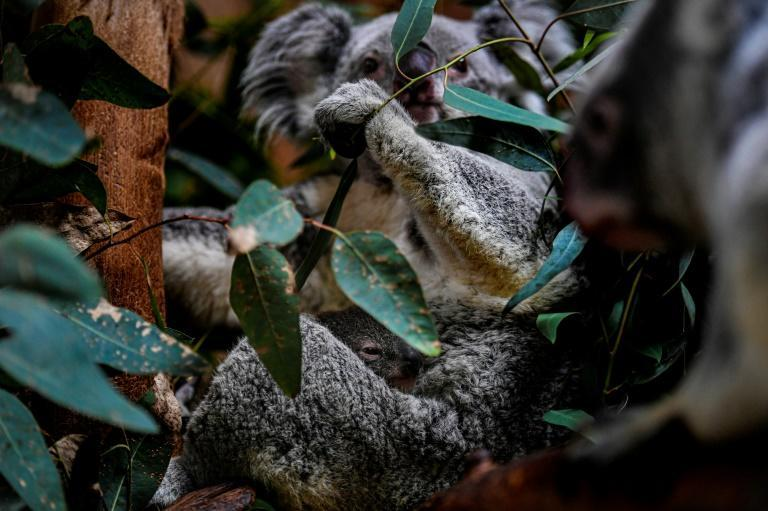 Koalas are considered vulnerable to extinction and face a raft of threats including habitat loss from logging, development and bushfires