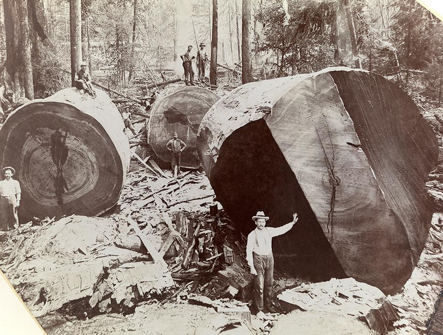 A man stands next to the cross-section of a giant redwood tree in California, 1909.