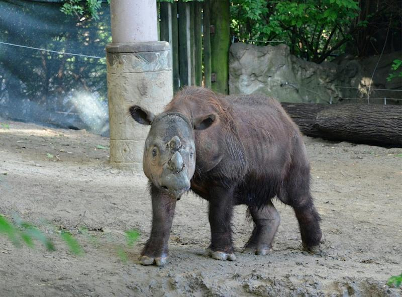 Harapan, a male Sumatran rhino, pictured in a photo taken on July 23, 2013 courtesy Michelle Curley of the Cincinnati Zoo, Ohio (AFP Photo/)