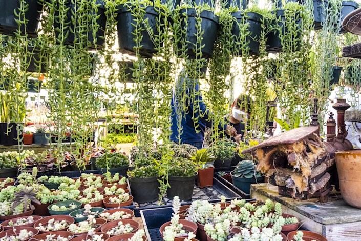 Visitors peruse an area adorned with hanging succulents.