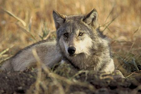 FILE PHOTO: A handout photo of an endangered gray wolf from the U.S. Fish and Wildlife Service